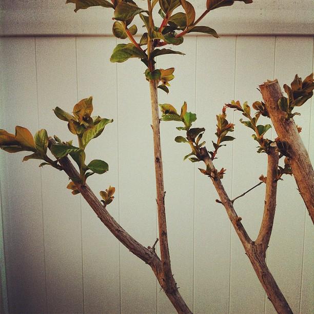 crape myrtle tree in spring