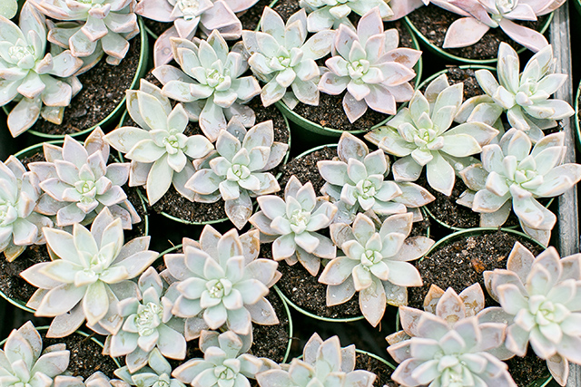 Echeveria for days! Click through to find out where's the best place to by them in central Florida.